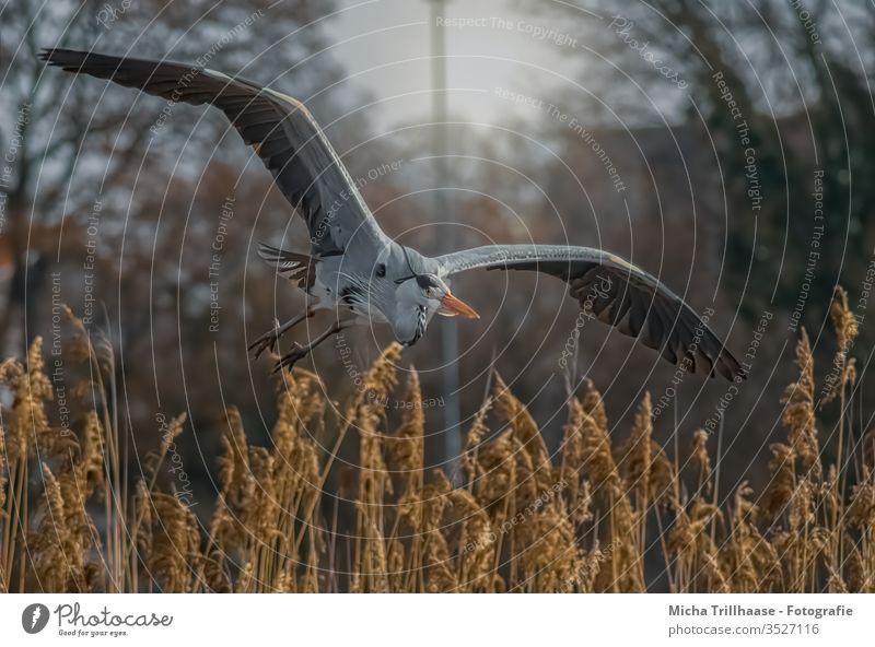 Graureiher im Flug Reiher Ardea cinerea Flügel Kopf Schnabel Auge Tiergesicht Krallen Seeufer Vogel Feder gefiedert Wildtier Sonnenlicht Schönes Wetter fliegen