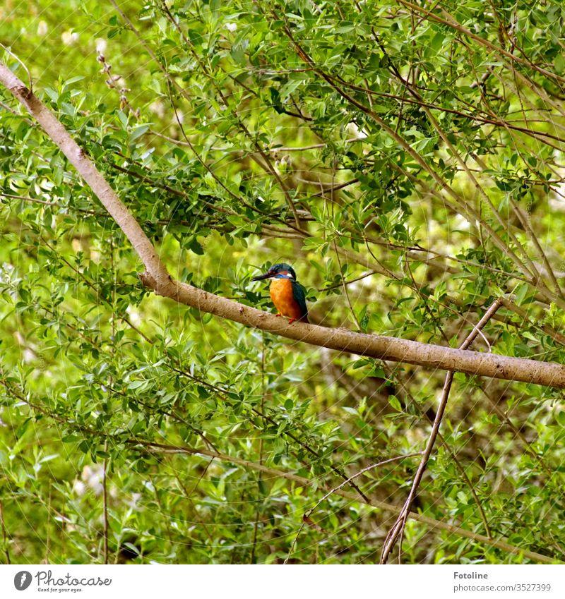 Glücksmoment - oder ein wunderschöner Eisvogel, der auf einem vertrockneten Ast sitzt und sich ausruht Eisvögel blau orange grün braun Zweige Vogel Tier