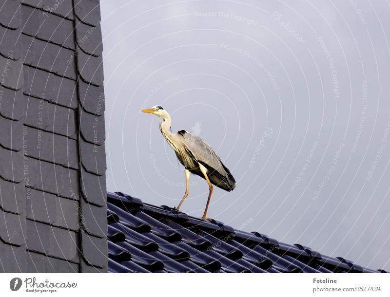 Eingangstür nicht gefunden - oder ein Graureiher, der auf unserem Dach gelandet ist Reiher Vogel Tier Außenaufnahme Natur Tag Farbfoto 1 Menschenleer Wildtier