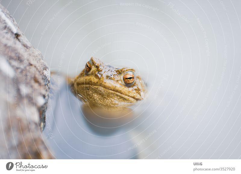 Kröte - Erdkröte (Bufo bufo) in einem Tümpel. Unke Bufo Bufo Frosch Amphibien Teich Biotop Wasser Laichzeit Probe Tier Natur Leben Auge Blick zuschauend