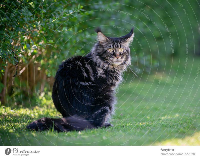 Tabby Maine Coon Katze sitzt im Garten neben einer Hecke Haustiere im Freien Natur Botanik grün Rasen Wiese Gras sonnig Sonnenlicht Sommer Frühling Rassekatze