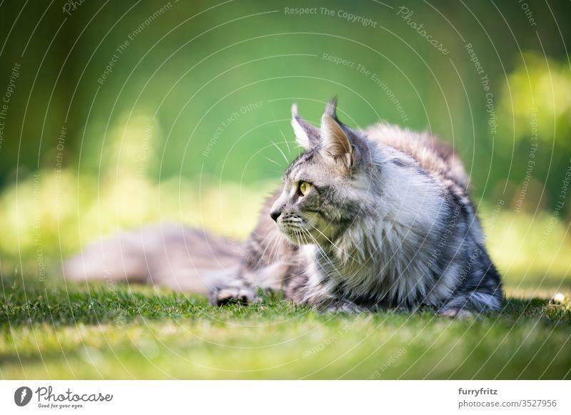 Maine Coon Katze, die im Garten zur Seiite blickt Haustiere im Freien Natur Botanik grün Rasen Wiese Gras sonnig Sonnenlicht Sommer Frühling Rassekatze