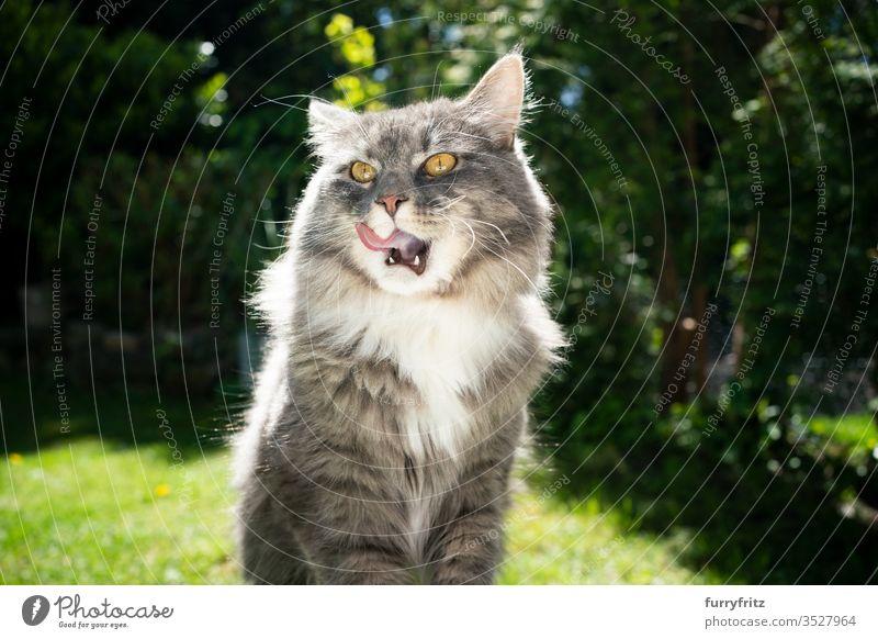 Maine Coon Katze ist hungrig und leckt sich die Lippen Haustiere im Freien Natur Botanik grün Rasen Wiese Gras sonnig Sonnenlicht Sommer Frühling Rassekatze