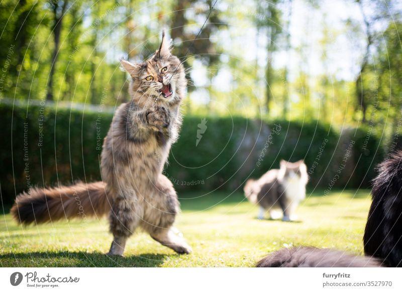 verspielte junge Maine Coon Katze, die mit Federspielzeug im Garten spielt Haustiere im Freien Natur Botanik grün Rasen Wiese Gras sonnig Sonnenlicht Sommer