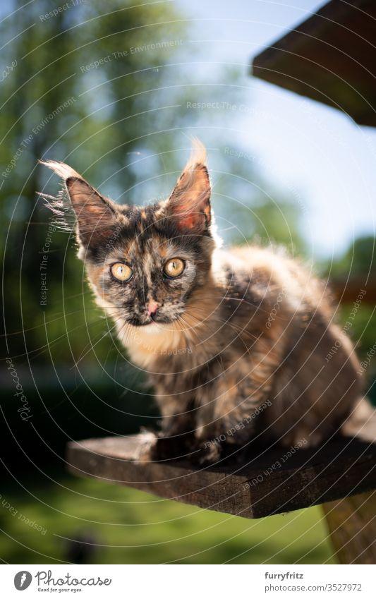 süßes Schildpatt Maine Coon Kätzchen sitzt auf einem Kratzbaum im Freien und schaut in die Kamera Katze Haustiere Natur Botanik grün Rasen Wiese Gras sonnig