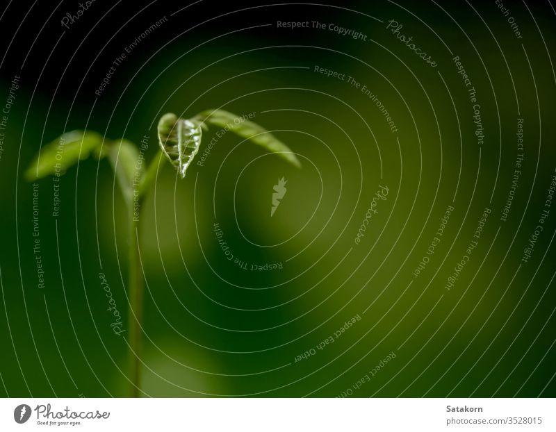 Knospenblätter von jungen Pflanzen, die im Wald säen Keimling wachsend Boden grün Natur Licht Tropfen Tau Wasser Hintergrund Baum Blatt klein neu frisch