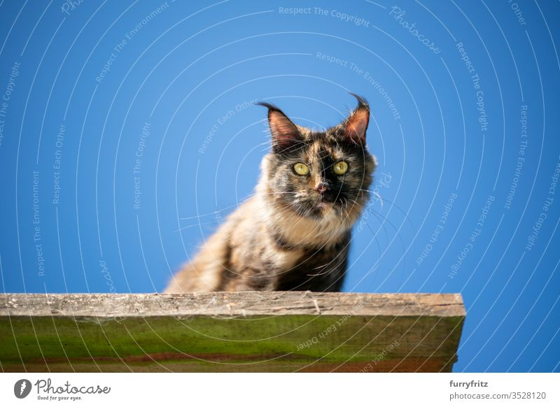 schildpatt maine coon katze sitzend auf einem erhöhten Aussichtspunkt im Freien vor klarem blauen Himmel mit Blick nach unten Katze Haustiere Natur Botanik