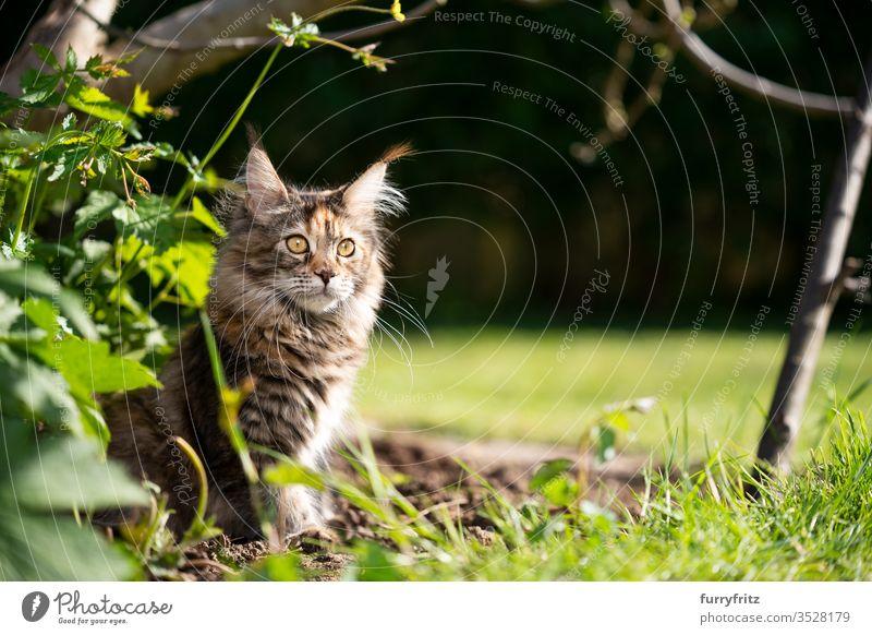maine coon katze sitzt an einem sonnigen Tag im Blumenbeet im Garten Katze Haustiere im Freien Natur Botanik grün Rasen Wiese Gras Sonnenlicht Sommer Frühling