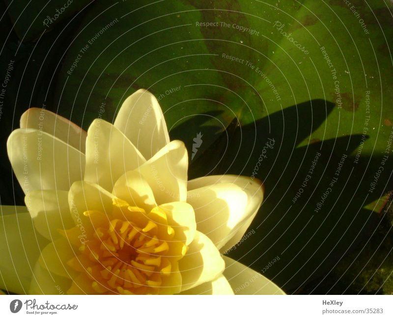 Seerose Seerosen Blüte gelb Teichrose Wasser Wasserplanze