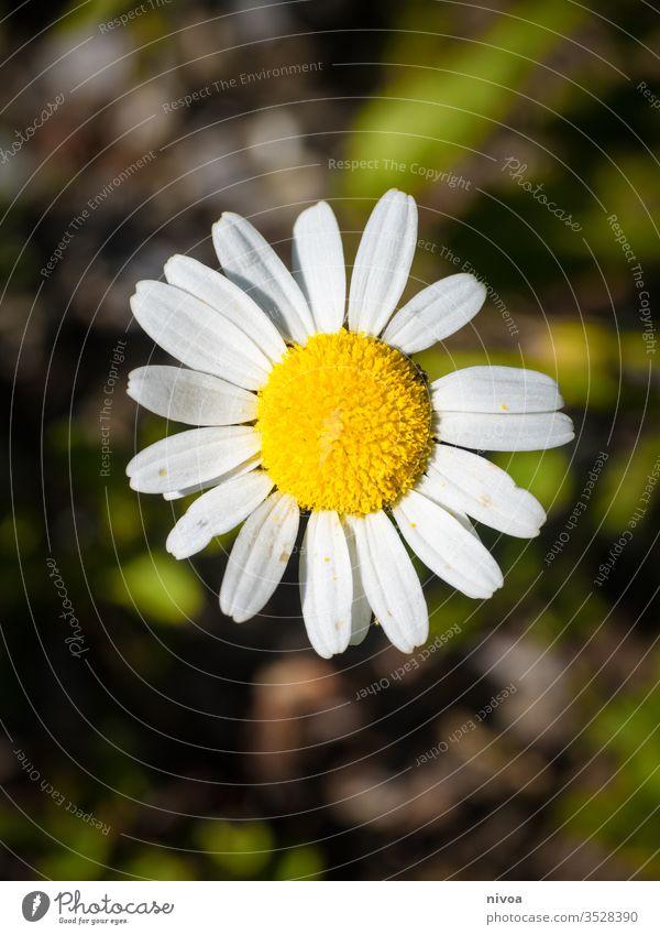 Gänseblümchen Nahaufnahme Blume weiß Pflanze Wiese Frühling Natur grün Blüte Gras Garten Farbfoto Blühend gelb Rasen Außenaufnahme schön Menschenleer