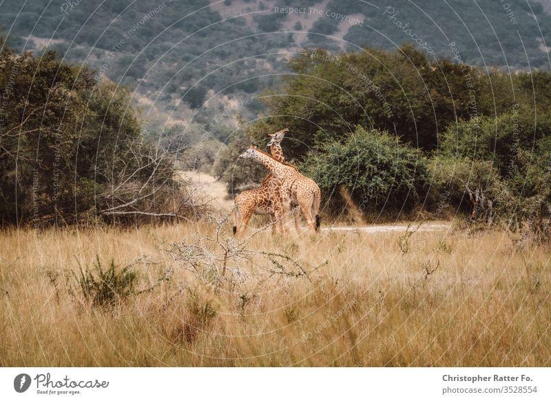 Zwei Giraffen kreuzen ihre Hälse rwanda Ruanda Afrika Savanne Giraffenkopf tiere Wildtier Wildtiere Safari Hitze Steppe wild Tier Tierporträt Tiergesicht