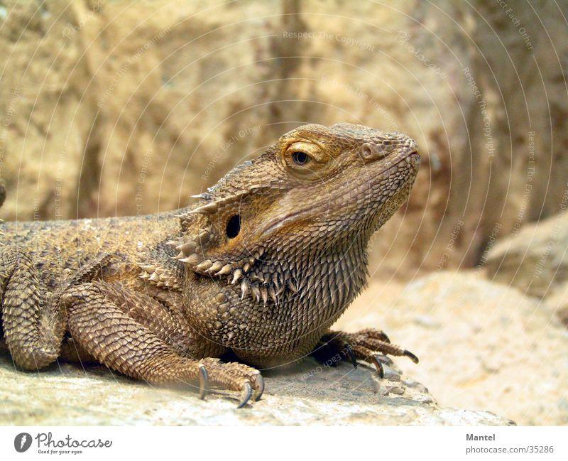 Kopf hoch! Reptil Echsen Makroaufnahme Scheune