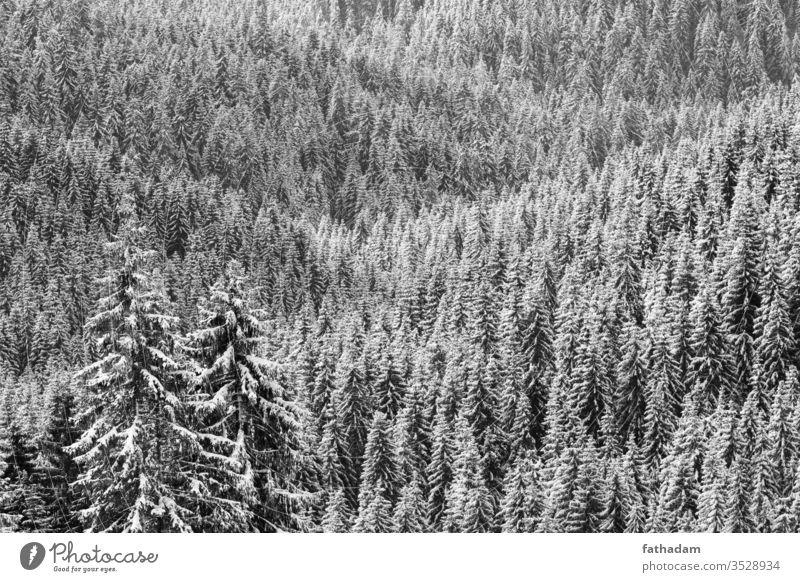 Kiefernwald im Winter bei Sonnenlicht in schwarz-weiß Wald Forstwirtschaft Pinienwald Berge u. Gebirge Baum Winterlandschaft Winterstimmung Jahreszeiten