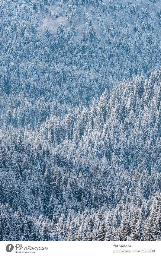 Kiefernwald im Winter bei Sonnenlicht Wald Forstwirtschaft Pinienwald Berge u. Gebirge Baum Winterlandschaft Winterstimmung Jahreszeiten Österreich Schnee