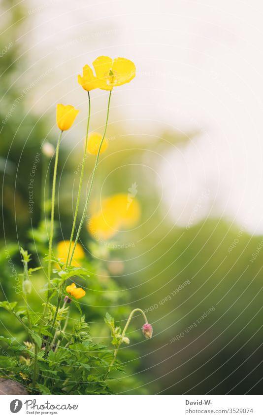 gelber Scheinmohn Mohn wachsen Natur Textfreiraum oben grün schön zart Wildwuchs Starke Tiefenschärfe lieblich bunt farbenfroh Blume Blüte Unkraut Wachstum