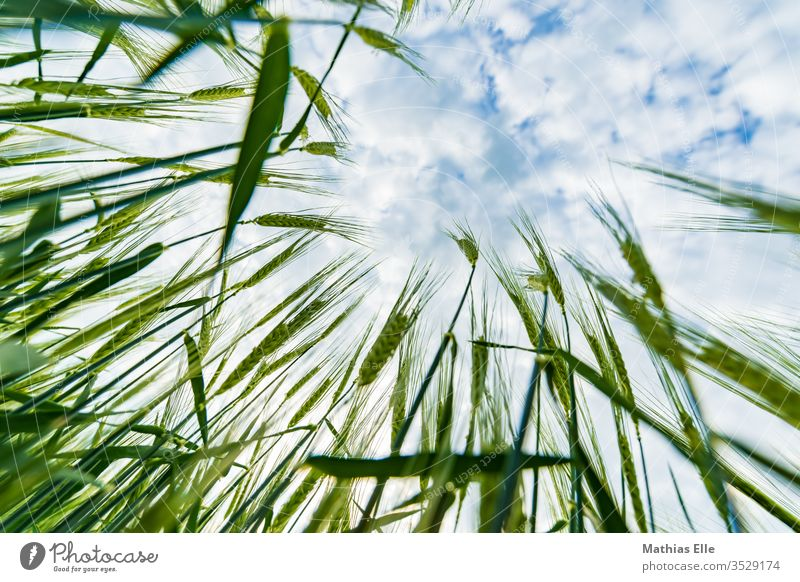 Junge Weizenpflanzen Korn Getreide grün Feld Himmel blau Wolken anbauen Natur Wachstum getreite Sommer Ernährung Bioprodukte Vegetarische Ernährung Kornfeld
