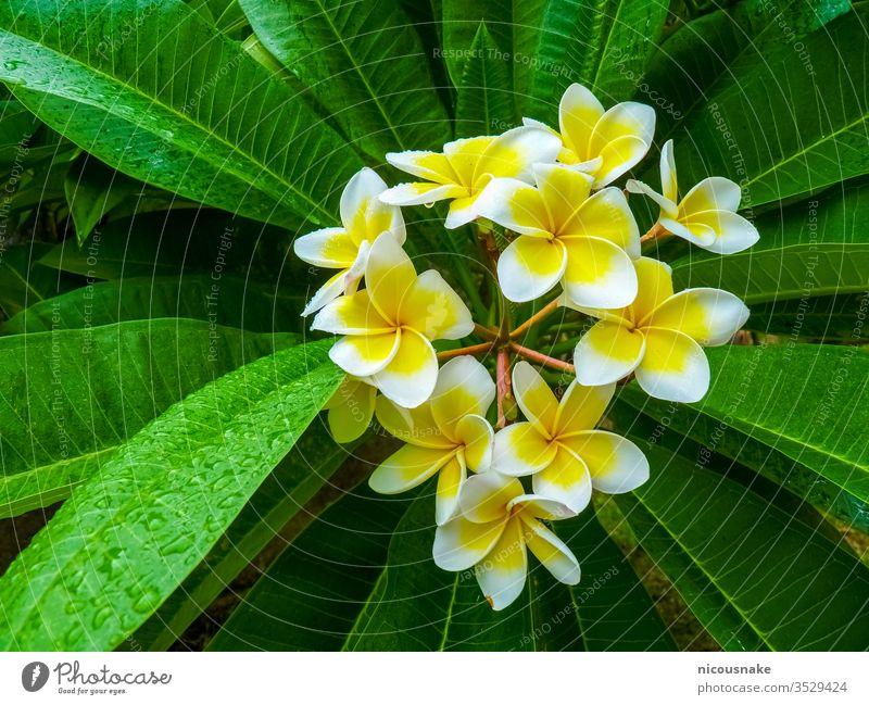 Frangipani-Blume in der Nähe der Zitadelle von Hue, Hue, Vietnam geblümt aquatisch Asien asiatisch Hintergrund schön Schönheit Blütezeit Überstrahlung Botanik