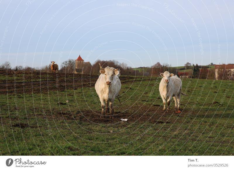 Uckermark Kühe Feld Kirche Ort Außenaufnahme Menschenleer Farbfoto Natur Landschaft Tag Umwelt Pflanze Tier Gras Wiese Textfreiraum oben Horizont cow Nutztier