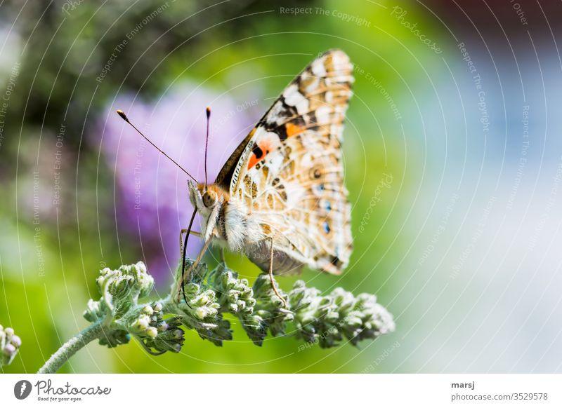 Sitzender Schmetterling auf Blütenknospen, mit komplett ausgerolltem Rüssel Distelfalter Saugrüssel Fühler Facettenauge Insekt Tier Natur Tierporträt 1