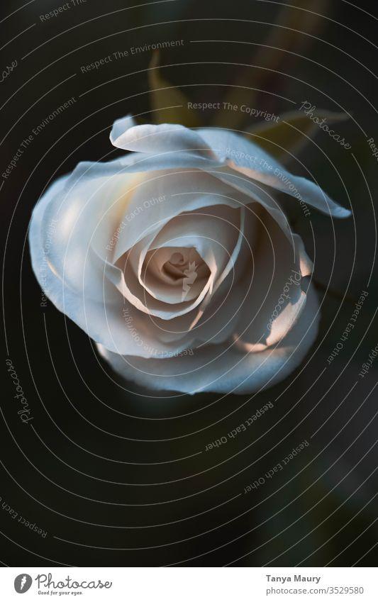 Weiße Rose isoliert auf dunklem Hintergrund Roséwein weiße Rose Natur Blume Blüte Nahaufnahme Blütenblatt natürlich grün Garten frisch geblümt Flora Pflanze