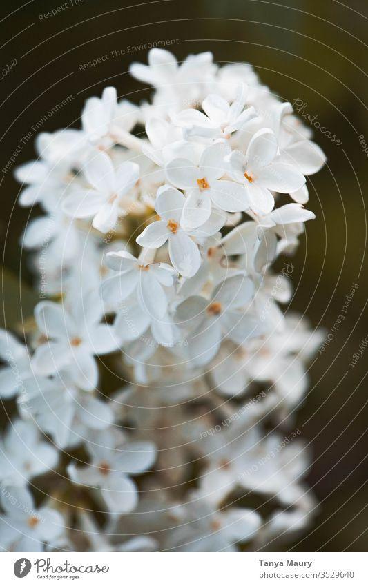 Nahaufnahme von weißen Blumen weiße Blumen Blüte Farbfoto Frost Frühlingsgefühle Detailaufnahme botanisch Überstrahlung Frühblüher natürlich Blumenstrauß frisch