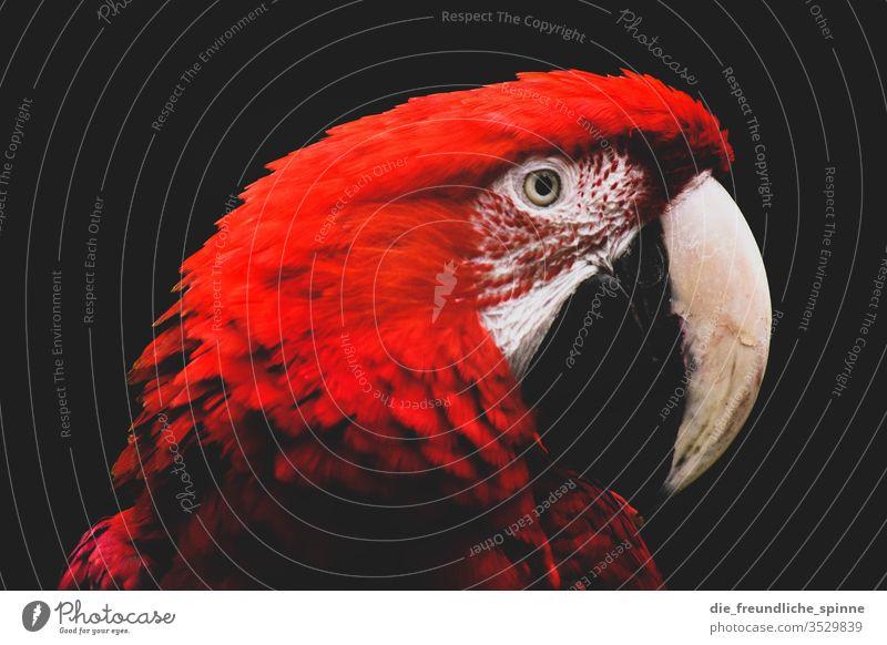 Papagei niedlich Vogel Tier Außenaufnahme Farbfoto Wildtier Natur Umwelt Menschenleer Gras Tierporträt klein Schwache Tiefenschärfe kuschlig Blick Nahaufnahme