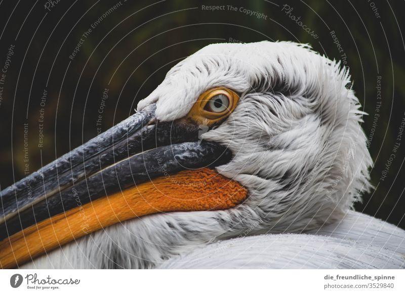 Pelikan niedlich Vogel Tier Außenaufnahme Farbfoto Wildtier Natur Umwelt Menschenleer Gras Tierporträt klein Schwache Tiefenschärfe kuschlig Blick Nahaufnahme