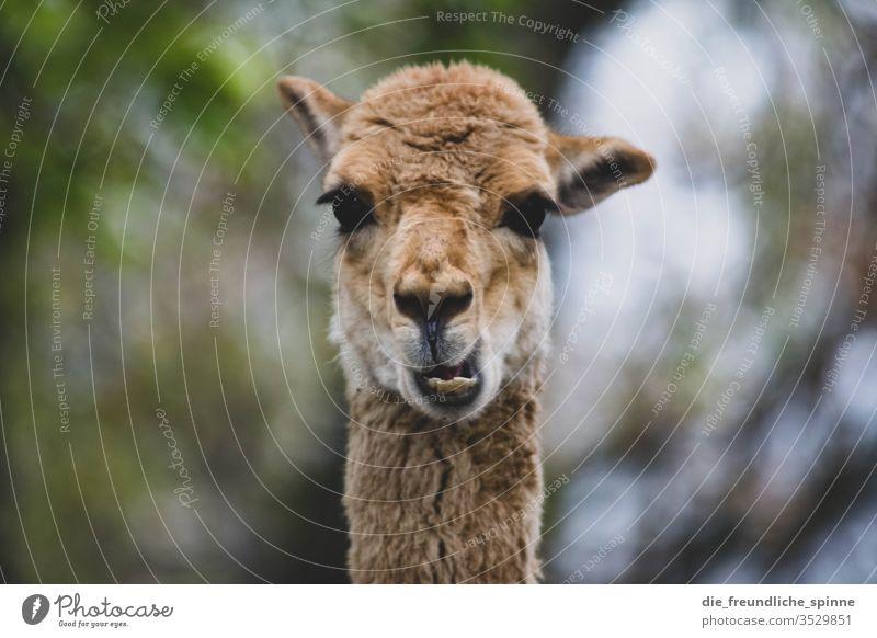 Lustiges Guanako Alpaka Blick doof Zähne Kauen Unschärfe Tier Außenaufnahme Tierporträt Tag Nutztier Blick in die Kamera Natur Tiergesicht Lama Neugier