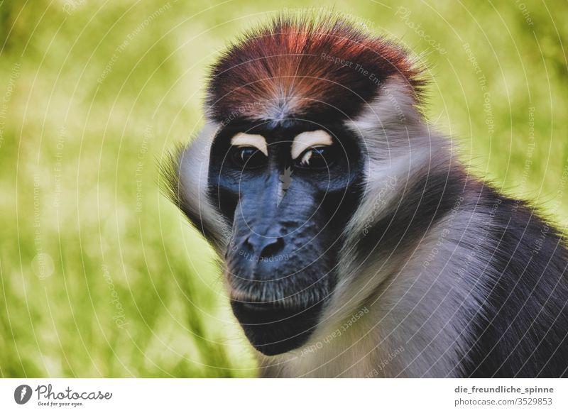 Affenblick Tier Außenaufnahme Wildtier Tierporträt Tag Afrika nase gesicht fell Zoo Natur Auge Nase Nahaufnahme Farbfoto Tiergesicht Blick Menschenleer