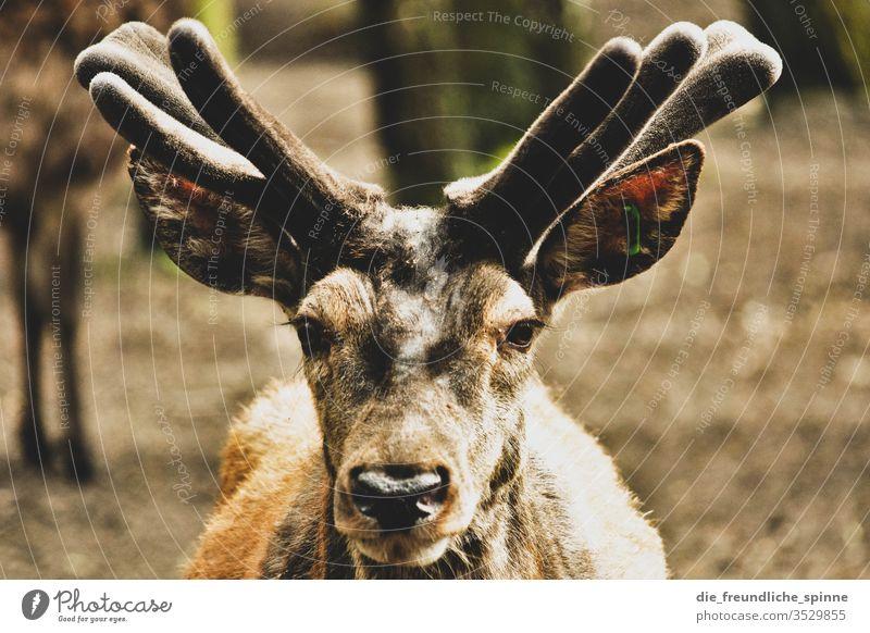Blick Rentier Hirsch Geweih Tier Natur Außenaufnahme Hirsche Tourismus Wald Landschaft Säugetier Horn wild Tierwelt natürlich Gras Wildnis Bock braun Jagd