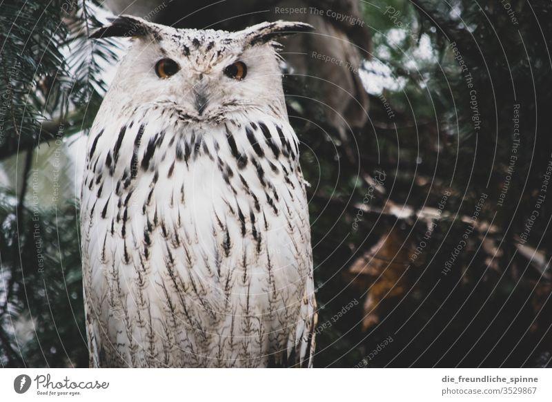 Schneeeule Eule Uhu Vogel Wildvogel Tier Feder Farbfoto Wildtier Natur Eulenvögel Außenaufnahme Schnabel Tierporträt Tiergesicht Greifvogel Tag Wald Nahaufnahme