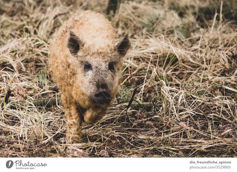 niedliche Wollschwein Ferkel Schwein Tier Farbfoto Nutztier Außenaufnahme Tierporträt Bauernhof Tierjunges Sau dreckig Natur Tag Glück Landwirtschaft Heu Gras