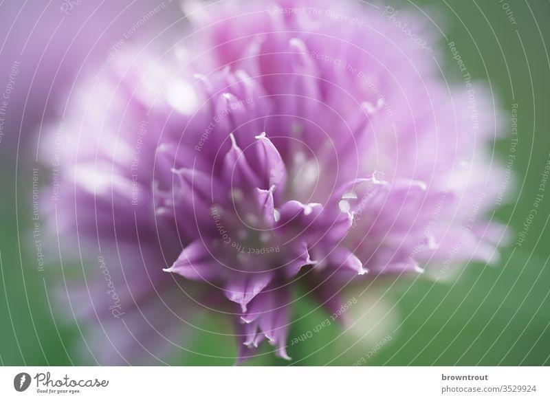 Schnittlauch Blüte schnittlauchblüte violett Schwache Tiefenschärfe Nutzpflanze Garten Nahaufnahme Farbfoto Pflanze Natur Kräuter & Gewürze Blühend