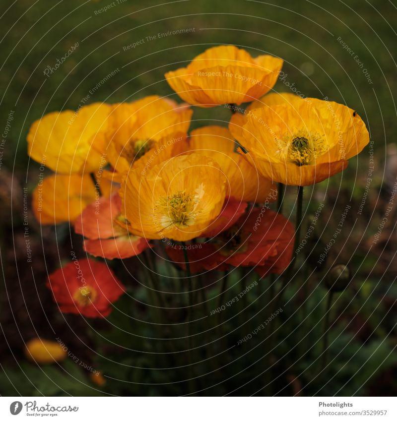 Gelbe und orange Mohnblumen mohn mohnblume wald wiese natur umwelt feld leuchtend orangegrün pflanze Mohnblüte Wiese Außenaufnahme Natur Umwelt Pflanze