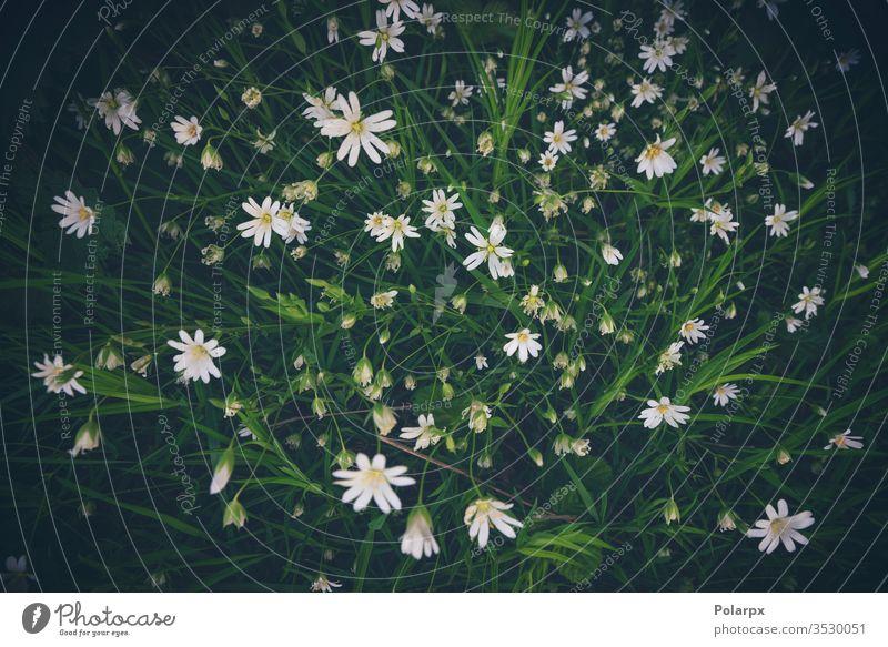 Weiße Anemonenblüten von oben gesehen weiße Blume Umwelt natürlicher Hintergrund blühende Blume im Freien Nahaufnahme wild Wiese Vegetation Küchenkräuter Sumpf