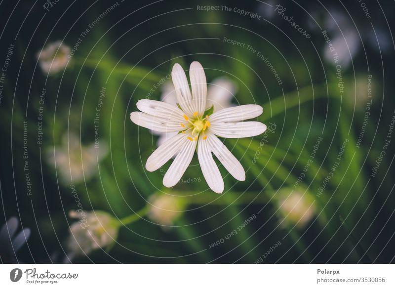 Weiße Wildblume in einem grünen Wald im Frühling weiße Blume Umwelt natürlicher Hintergrund Anemonenblüte blühende Blume im Freien Nahaufnahme wild Wiese