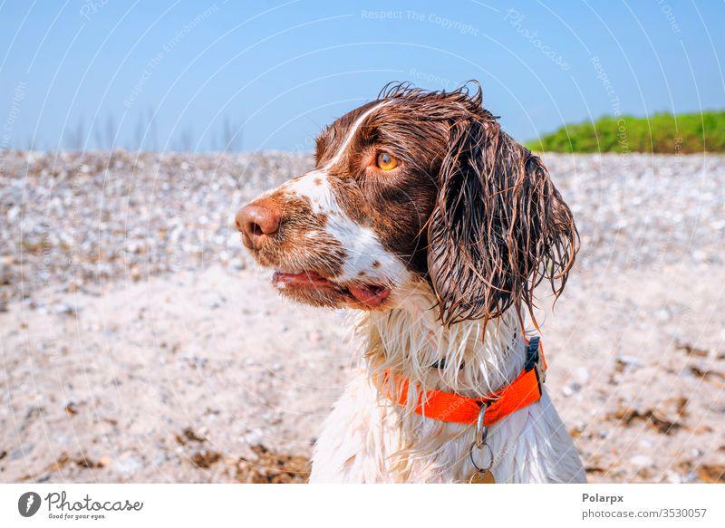 Springer-Spaniel-Hund mit nassem Fell am Strand Sand Hunde Wald Park Gesicht bezaubernd Fleischfresser Frühling gehorsam gundog dreckig im Freien anschauend