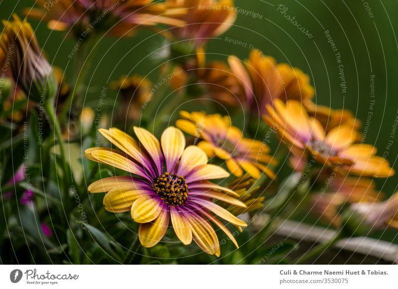 Ecklonis, Asteraceae, Osteospermum ecklonis, Balkonpflanze, Pflanze, asteraceae, Gelbe pflanze, Blumen gelb Natur Garten Sommer grün rot aufblühen Blüte orange