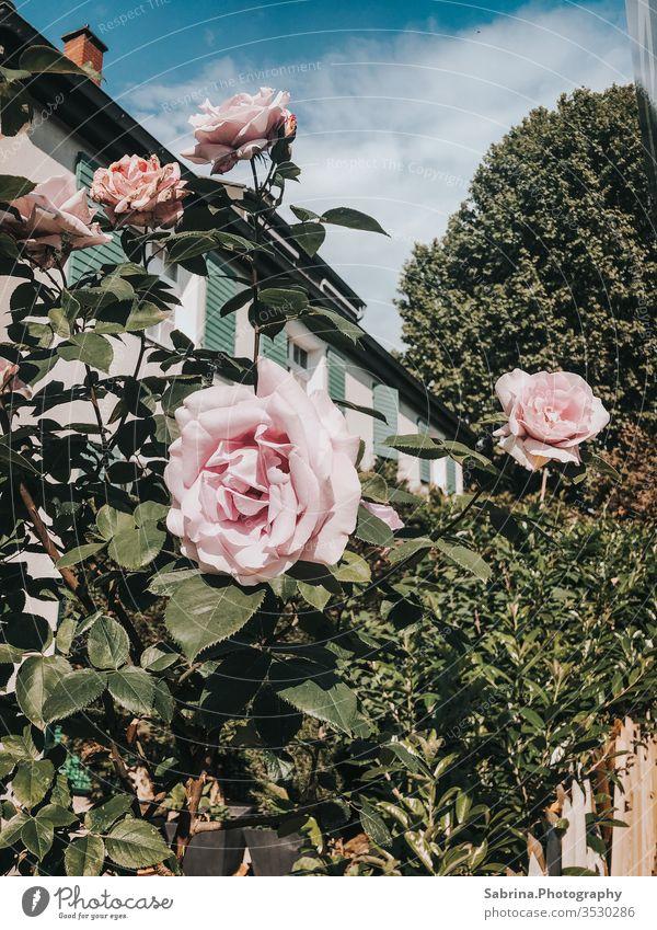 Rosen vor einem Haus in der Stadtmitte am Muttertag Rosengewächse Blume Außenaufnahme rosa Vintage Ludwigshafen Rheinland-Pfalz Deutschland Europa Sommer