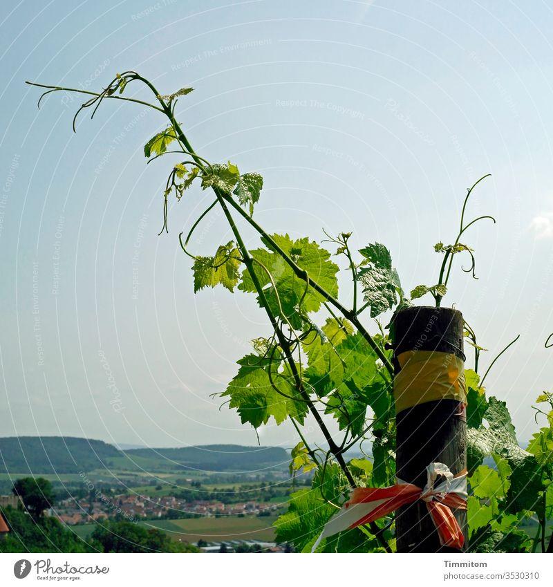 Weinreben über schwäbischer Ortschaft Weinstock Reben Weinberg Wachstum grün Natur Pflanze Weinbau Pfosten Landschaft Hügel Dorf