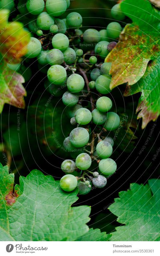 Weinrebe, Weintraube und Weinbeeren Weintrauben Natur Weinberg grün Frucht Weinbau schwarz