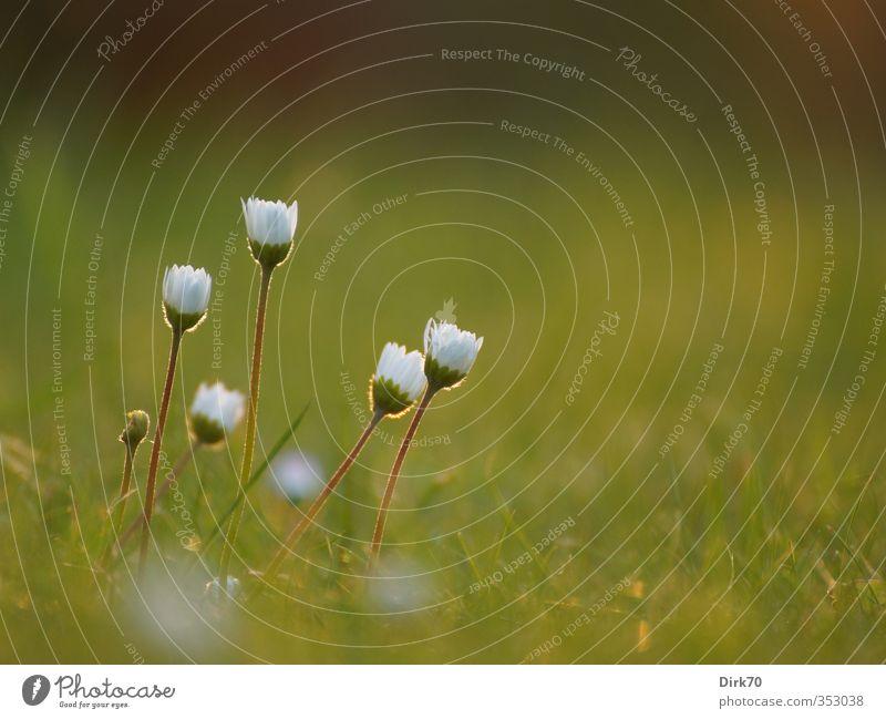 Gänseblümchengruppe im Gegenlicht Natur grün schön weiß Pflanze rot Blume schwarz gelb Wiese Leben Gras Frühling Blüte Garten Idylle
