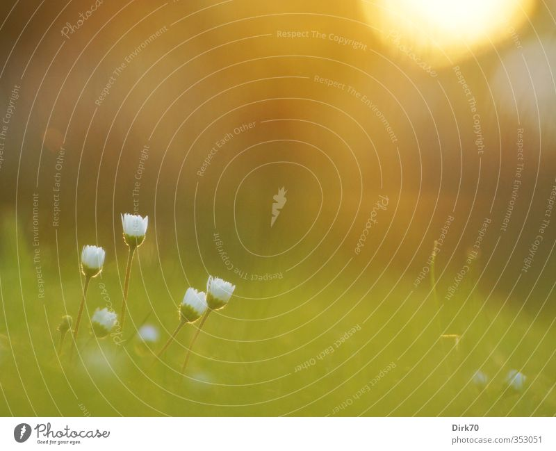 Gänseblümchen, lauschiger Sommerabend, die 2. Natur grün schön weiß Pflanze Blume gelb Wiese Gras Frühling Blüte Garten natürlich braun orange