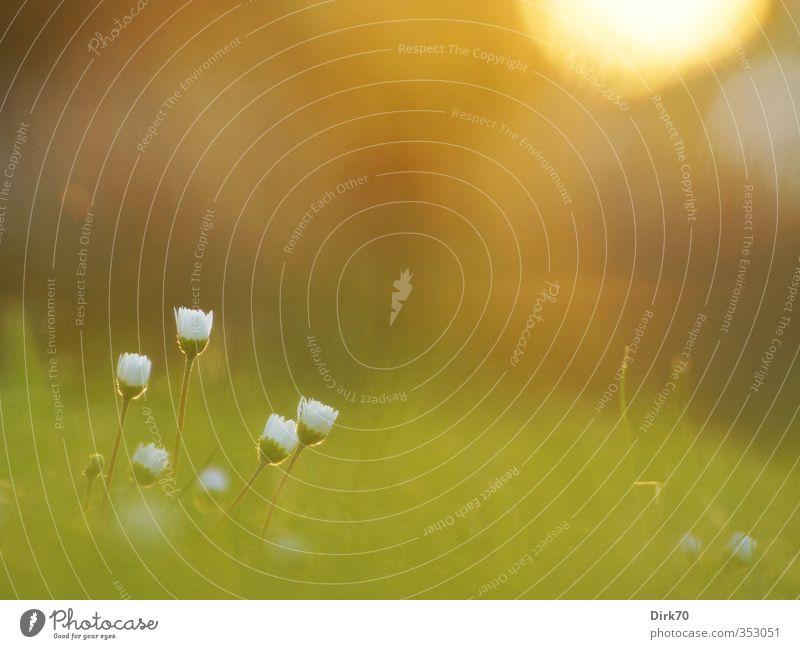 Gänseblümchen, lauschiger Sommerabend, die 2. Natur Pflanze Frühling Blume Gras Blüte Wildpflanze Garten Wiese Blühend leuchten Wachstum authentisch