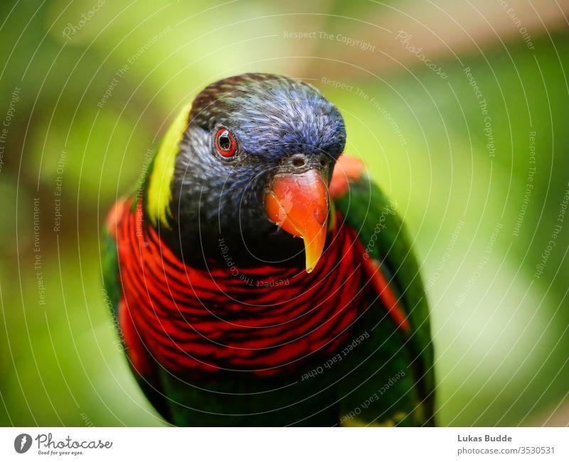 Nahaufnahme eines bunten Lorikeet-Vogels aus Malaysia Papagei farbenfroh Regenbogen lori Tier Schnabel grün blau rot Natur tropisch Australien orange Farbe