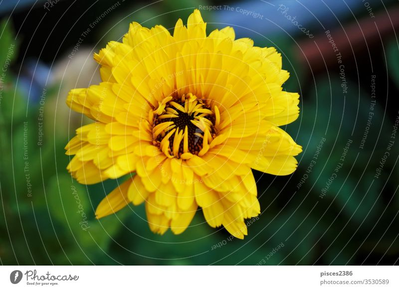 Eine gelbe Ringelblume (Calendula officinalis) blüht im Garten Blume Natur Sommer Blatt hell Blütenblatt Pollen Wachstum im Freien horizontal Farbbild