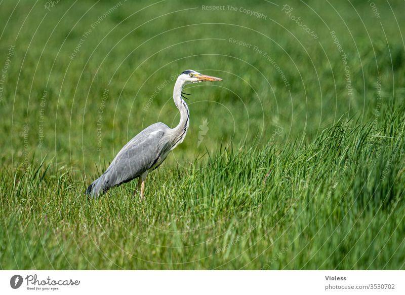 Graureiher auf grüner Wiese Reiher Fischreiher Ardea cinerea Vogel Teleaufnahme Fauna