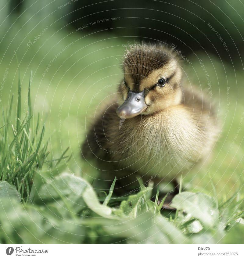 Auf eigenen Füßen stehen ... Gras Blatt Wiese Tier Wildtier Vogel Ente Stockente 1 Tierjunges beobachten Blick frech frei kuschlig Neugier niedlich braun gelb