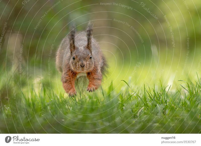 Eichhörnchen beim Sprung über die Wiese Tier Farbfoto Natur Außenaufnahme Wildtier Menschenleer Tag Tierporträt Umwelt Schwache Tiefenschärfe braun niedlich