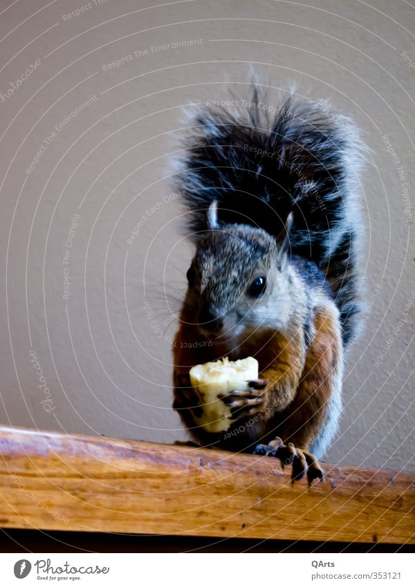 Was guckst Du? Hmmm, lecker Banane Freude Tier lustig Essen Frucht sitzen Zufriedenheit niedlich Lebensfreude Neugier Fell Tiergesicht frech Eichhörnchen